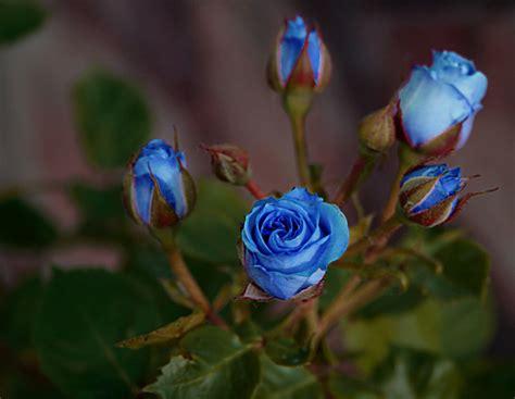 imagenes rosas negras y azules recortar rosas azules para floreros cuadrados
