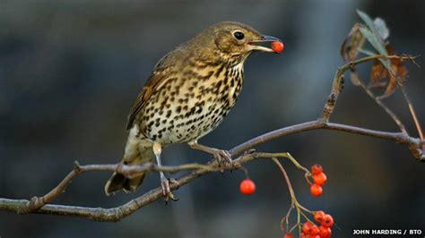 bbc nature birds and berries to be surveyed