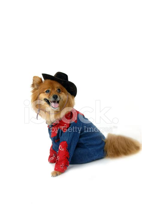 gestation period for pomeranians western costume on pomeranian stock photos freeimages