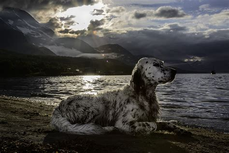 english setter working dog photos the hardest working dogs in the world orvis news