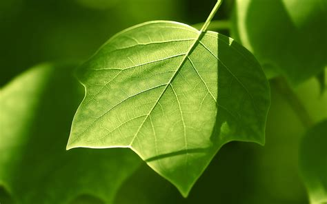 wallpaper of green leaves green leaves wallpaper wallpapers hd wallpapers 86507
