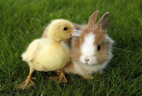 cute rabbits and chicks think twice before bringing a pet into your home this
