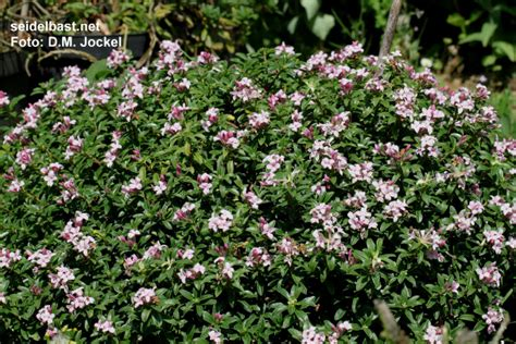 hardy flowering shrubs x alpengarten with pictures and description