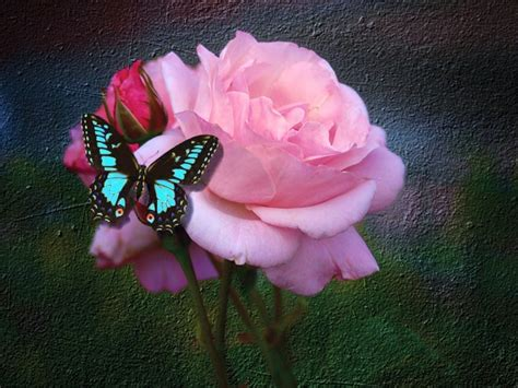 Roza Picture roses images butterfly and hd wallpaper and