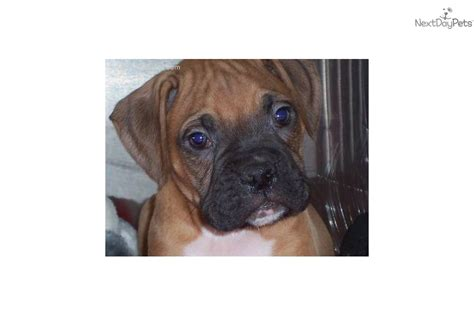 boxer puppies for sale in chicago meet a boxer puppy for sale for 650 chicago boxer puppy quot quot