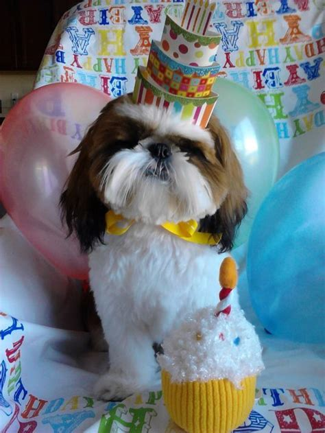 shih tzu birthday your and pooping in the house http tinyurl boj2yth your dogs