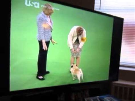 westminster show on tv biggie the pug wins the westminster sho doovi