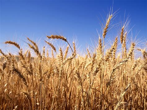gandum tanaman pra sejarah jurnal asia