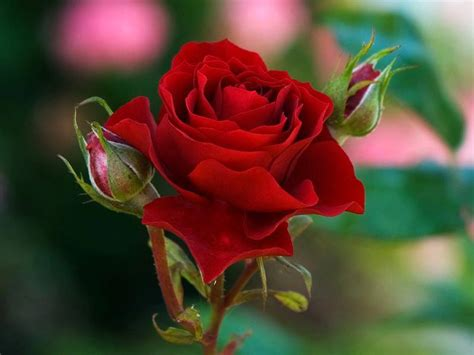 best flower flowers images red roses are the best hd wallpaper and