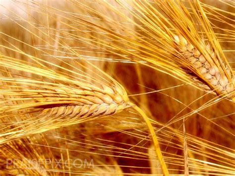 grain wallpaper wheat ebibleteacher