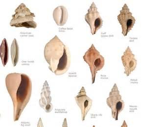 57 seashell identification images sea shells seashell