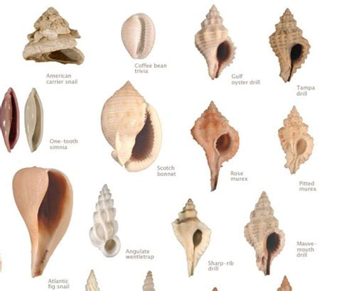 names of different types of individual by african 57 best images about seashell identification around the