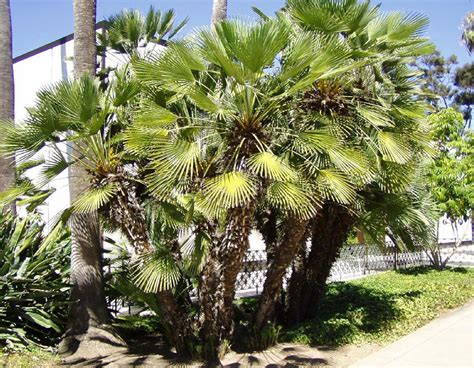 mediterranean fan palm tree mediterranean fan palm trees pictures