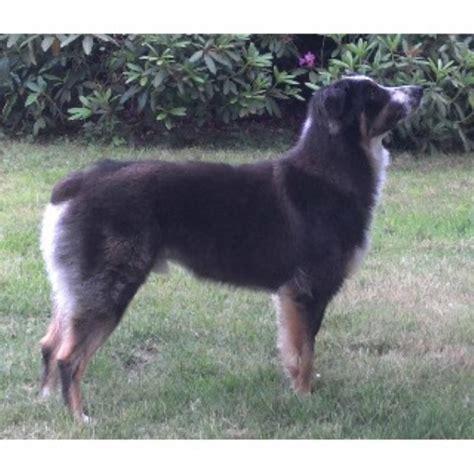 puppies olympia wa armstrong zita ranch australian shepherd breeder in olympia washington listing