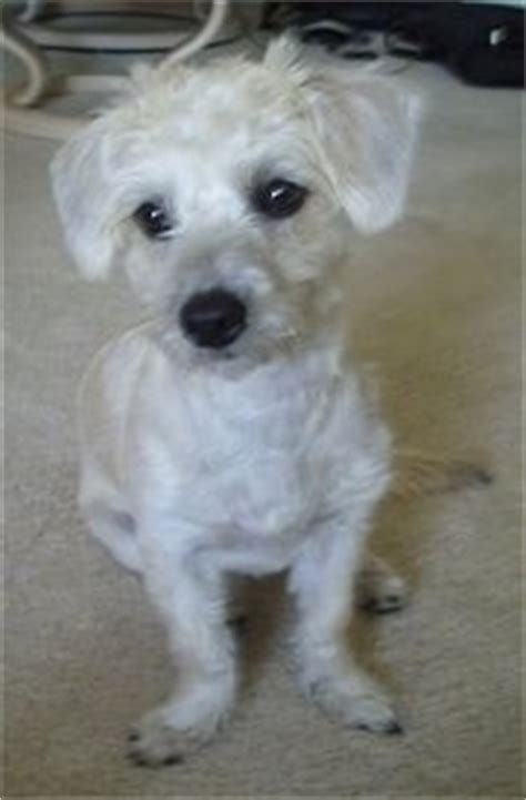 haircuts for poodle terrier mix cairnoodle dog breed information and pictures