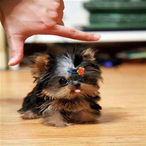 yorkies inc imgs for gt newborn teacup yorkies
