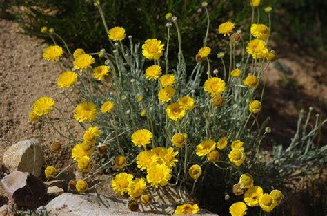 What Does Color Mean Baileya Multiradiata Desert Marigold
