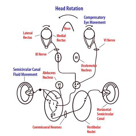 vestibulocochlear reflex the vestibular system noba