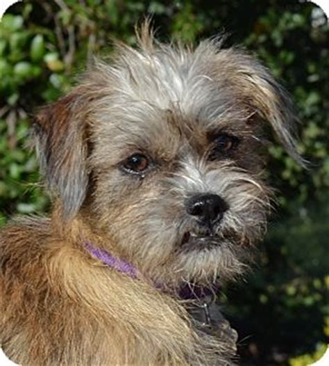 shih tzu terrier mix info muffy adopted puppy simi valley ca shih tzu terrier unknown type small mix