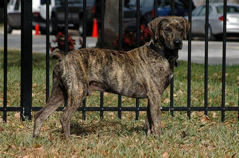 treeing tennessee brindle puppies for sale treeing tennessee brindle great dane mix breeds picture