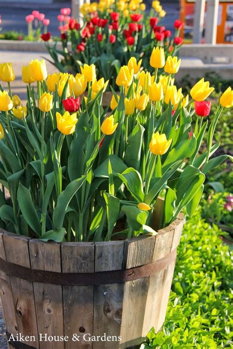 best 25 planting tulips ideas on planting tulip bulbs tulip bulbs and tulips garden