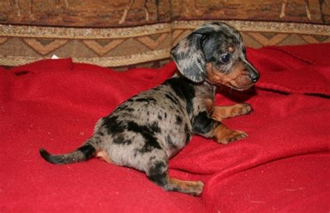 chiweenie puppies for sale in michigan 17 best images about dachshund dogs on miniature hair and minis