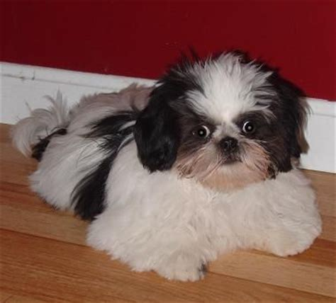 pug shih tzu mix shih tzu pug mix animals