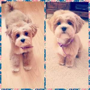 haircuts for shih poo dogs 17 best ideas about dog haircuts on pinterest dog