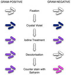gram positive stain color gram staining principle procedure and results