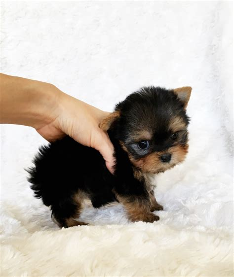 california yorkie breeders micro teacup terrier puppy california breeder iheartteacups