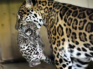 How Do Jaguars Babies Jaguar Carrying Baby Animal Kingdom