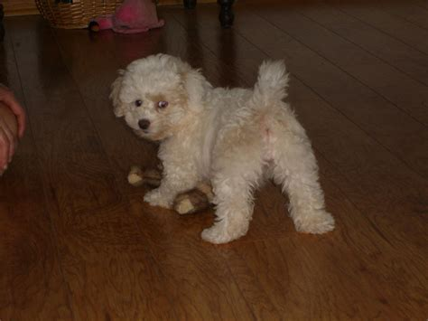bichon frise poodle lifespan bichon poo names dogs in our photo