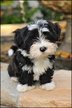 havanese don t 1000 ideas about havanese puppies on havanese puppies for sale puppies