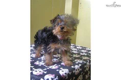 yorkie puppies new jersey cookie terrier yorkie puppy for sale near jersey new jersey