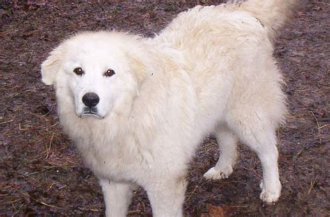 great pyrenees choosing the right breed for the family with obedience