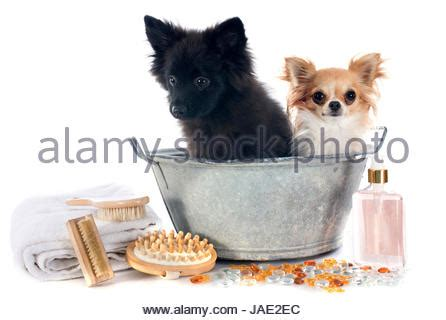two dogs in a bathtub wet chihuahua dog in bathtub stock photo royalty free image 103857770 alamy