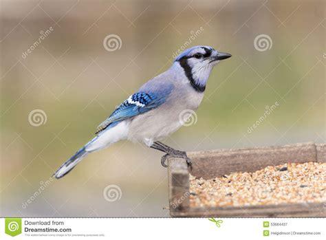 blue jay bird stock illustration image of bluejay