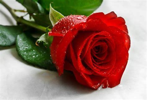 12 koleksi gambar bunga mawar merah yang indah si gambar