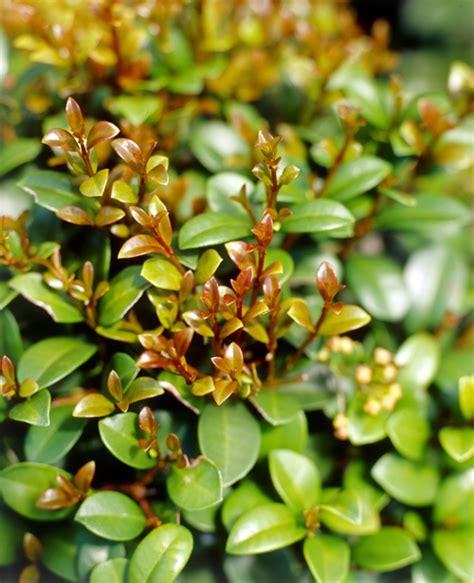 Best Fruit Tree For Backyard Best Lilly Pilly Varieties Burke S Backyard