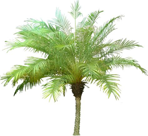 Pohon Pohonan Palm Palem 15cm roebelenii o brien datilera pigmea costa verde