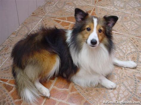 Do Sheltie Dogs Shed by Sheepdog Breeds List Breeds Picture