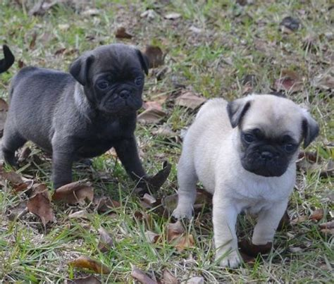 pug silver fawn fawn silver pug puppies pets