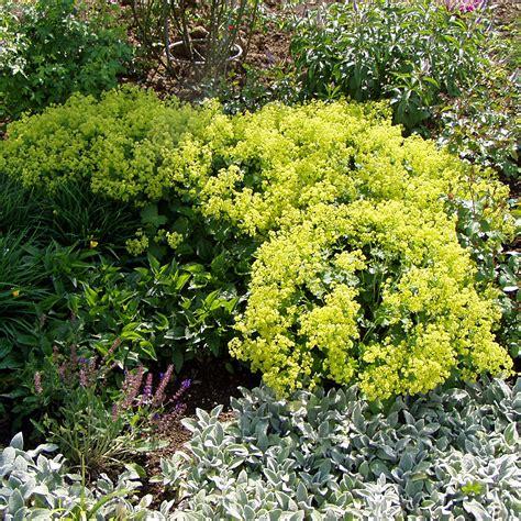 Bambus Hecke Pflanzen 417 by Zwerg Frauenmantel Alchemilla Erythropoda Mehrj 228 Hrig
