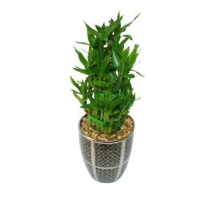 delray plants lucky bamboo in 5 in black pot