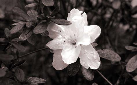 desktop wallpaper black and white flowers black white floral wallpapers floral patterns