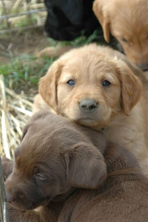 golden retriever chocolate golden retriever chocolate lab mix pets animals oregon