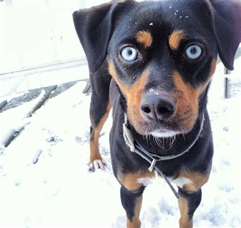 blue eyed rottweiler 194 best rottweiler mixed images on rottweilers image and search