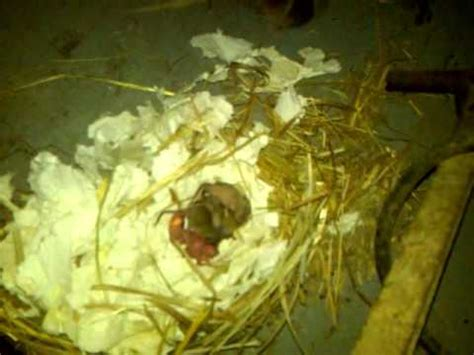 mom mouse moving her baby mice after their nest was