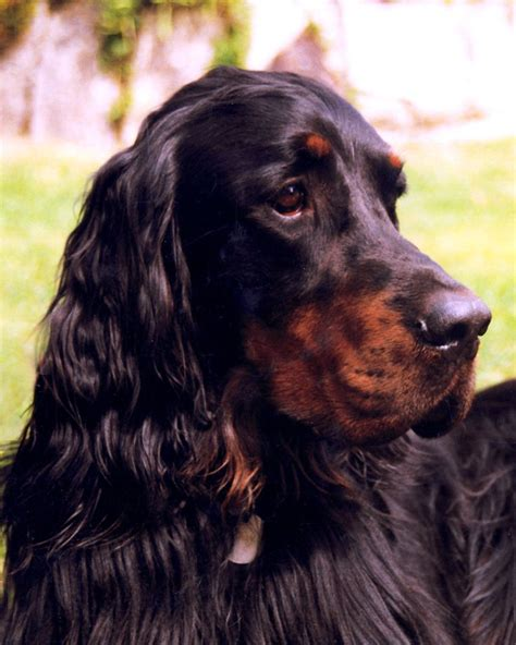 english setter girl dog names 64 best gordon setters images on pinterest dogs english