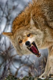 coyote growl limited edition photography by